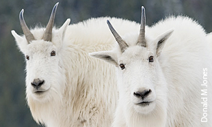 The Average Height Of Mountain Goat 34 Feet And Weight Is 100300 Lbs Goats Have White Fur Distinct Beards Horns